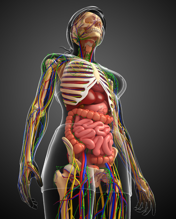 illustration of Lymphatic, skeletal, nervous and circulatory system of female