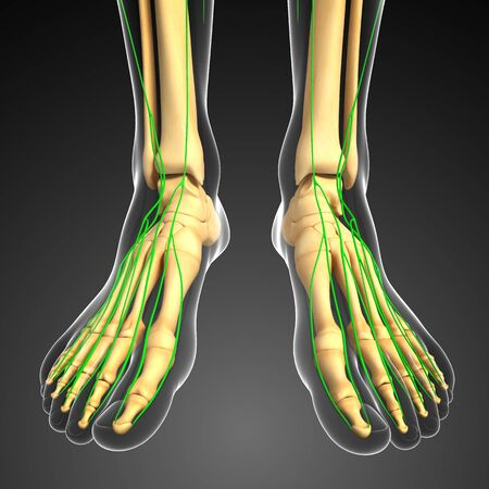 lymph vessels: Illustration of human foot skeleton with lymphatic system
