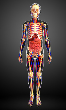 girdle: Illustration of male skeletal, digestive and circulatory system Stock Photo