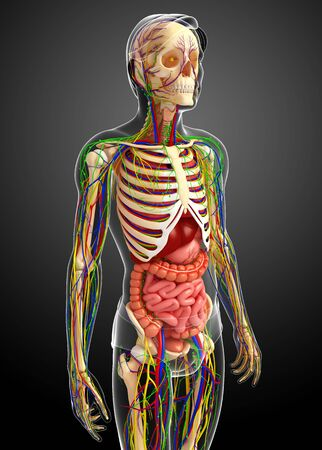 gastrointestinal system: illustration of Lymphatic, skeletal, nervous and circulatory system of male