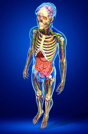 skeletal: illustration of Lymphatic, skeletal, nervous and circulatory system of male