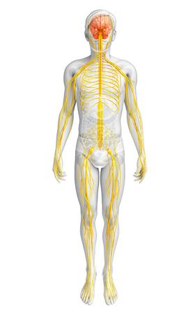 Ilustración de obra masculina sistema nervioso Foto de archivo