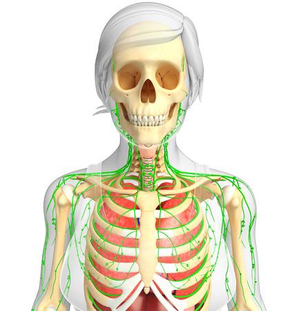 skeletal system: Illustration of Female body lymphatic, skeletal and respiratory system artwork
