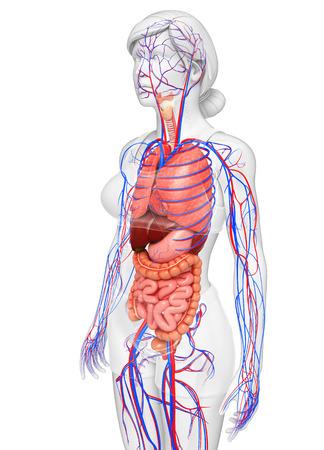human heart anatomy: Digestive and circulatory system of female body artwork