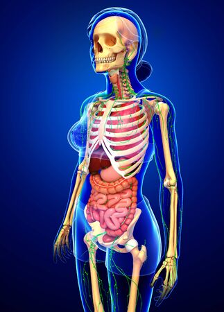 lymph vessels: Illustration of Female body lymphatic, skeletal and digestive system artwork Stock Photo