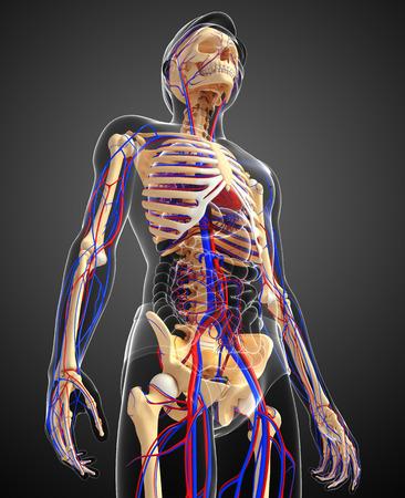 system: Ilustración del sistema circulatorio del esqueleto masculino