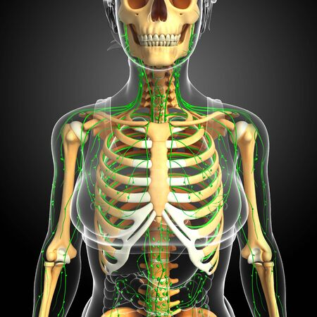 lymphatic system: Illustration of Female skeleton with lymphatic system Stock Photo