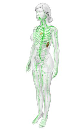 lymph vessels: Illustration of human body lymphatic system