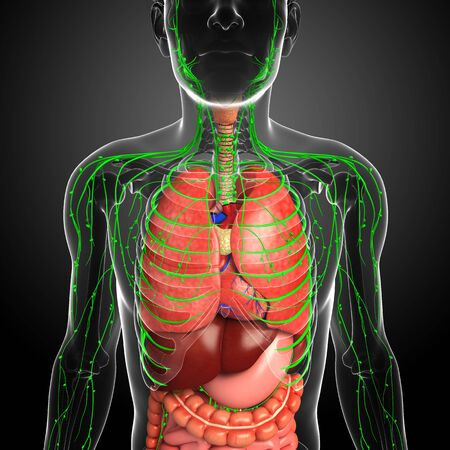 lymph nodes: Illustration of Male body lymphatic and digestive system artwork Stock Photo