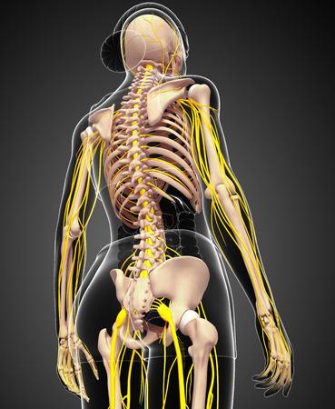 sistema nervioso central: Ilustración del esqueleto femenino con sistema nervioso Foto de archivo