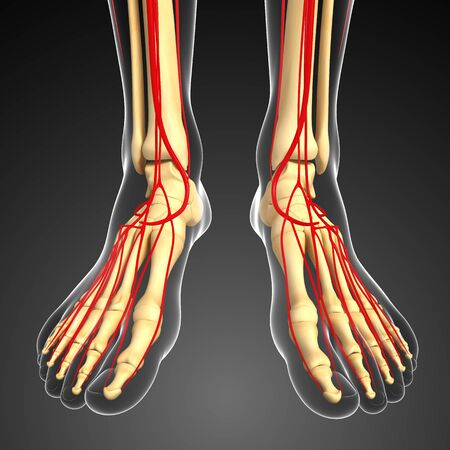 3d Rendered Illustration Of Leg Arteries Anatomy Stock Photo ...