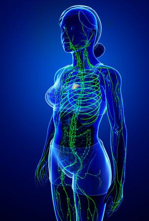 thymus: Illustration of female body lymphatic system