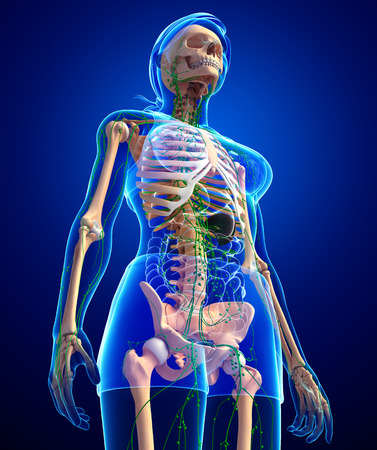 thymus: Illustration of Female skeleton with lymphatic system Stock Photo