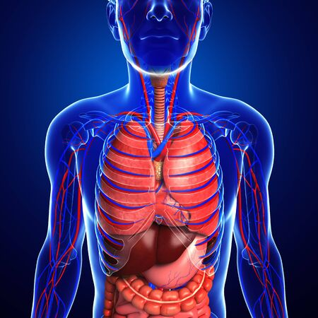 male large intestine: Digestive and circulatory system of male