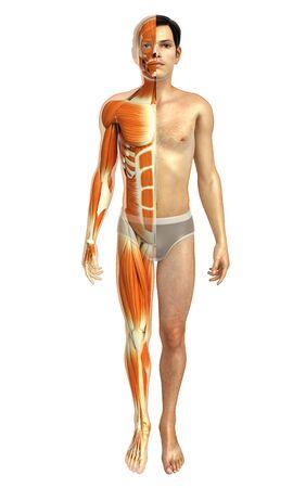 anatomía: 3d rindió la ilustración de la anatomía del cuerpo masculino Foto de archivo