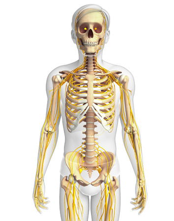 Illustration of male skeleton with nervous system Stock Photo