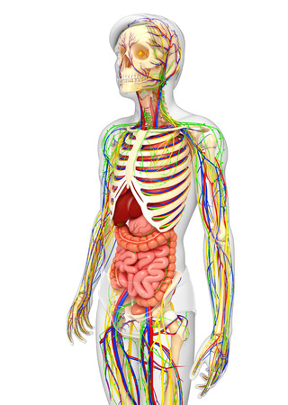 healthy arteries: illustration of Lymphatic, skeletal, nervous and circulatory system of male