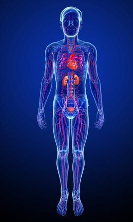 3d rendered illustration of male arterial system Banque d'images