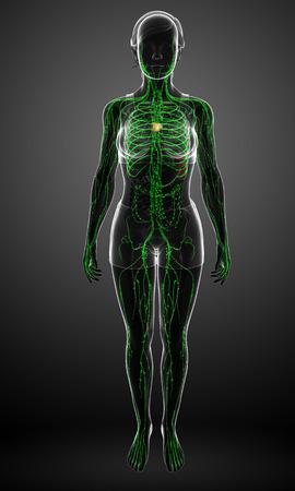 lymph nodes: Illustration of female body lymphatic system