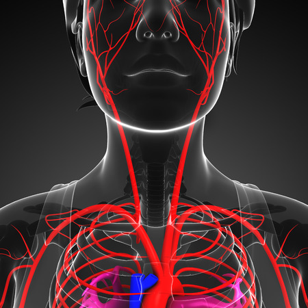 healthy arteries: 3d rendered illustration of female arterial system Stock Photo