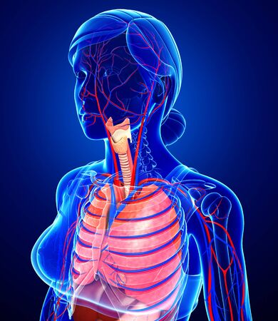 pleural: Illustration of female respiratory and circulatory system
