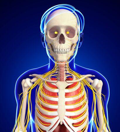 sistema digestivo: Ilustraci�n del esqueleto masculino con las ilustraciones sistema nervioso y digestivo Foto de archivo