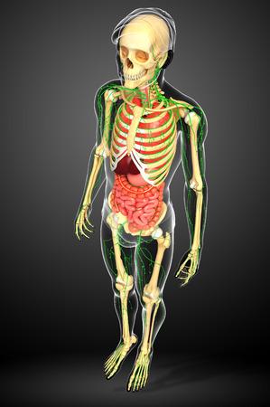 lymph vessels: Illustration of human body lymphatic, skeletal and digestive system artwork
