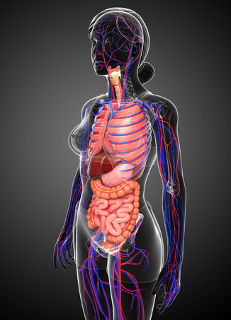 female large intestine: Digestive and circulatory system of female body artwork
