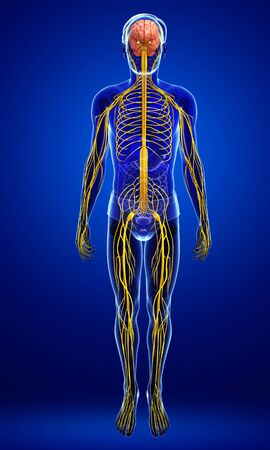 systeme nerveux: Illustration of Male nervous system artwork