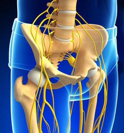 pelvic: Illustration of pelvic and nervous system