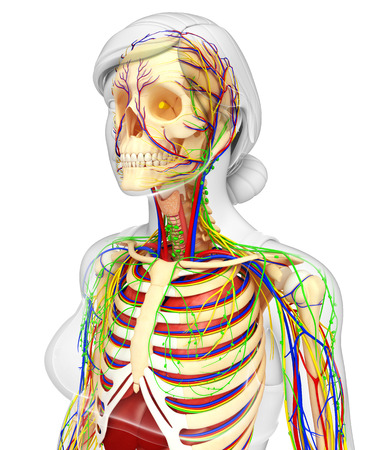 esophagus: illustration of Lymphatic, skeletal, nervous and circulatory system of female
