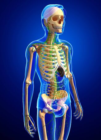 thymus: Illustration of human skeleton with lymphatic system Stock Photo