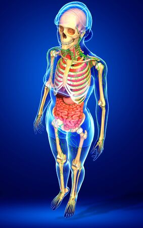 lymphocytes: Illustration of Female body lymphatic, skeletal and digestive system artwork Stock Photo