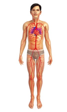 pulmonary trunk: 3d rendered illustration of male arterial system Stock Photo