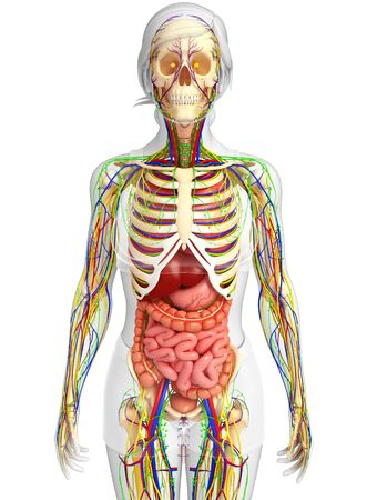 lymphatic: illustration of Lymphatic, skeletal, nervous and circulatory system of female