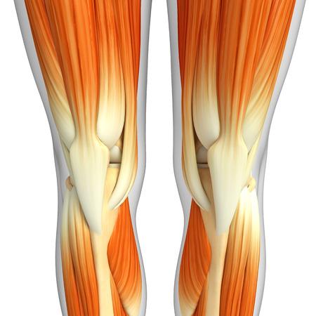 anatomia: 3d rindió la ilustración de