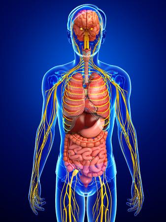 sistema nervioso central: Ilustración de cuerpo masculino con las ilustraciones sistema nervioso y digestivo Foto de archivo