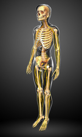 head shoulders: Illustration of male skeleton with nervous system Stock Photo