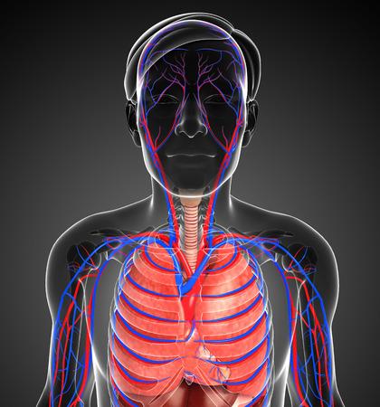 alveolos: Ilustración del sistema circulatorio y respiratorio masculina