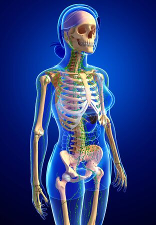 lymph vessels: Illustration of Female skeleton with lymphatic system Stock Photo