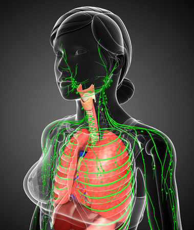 lymph: Illustration of Female body lymphatic and digestive system artwork Stock Photo