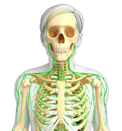 lymph vessels: Illustration of Male skeleton with lymphatic system