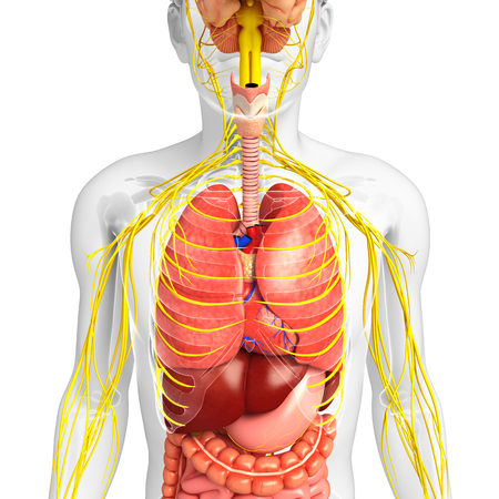 digestive: Illustration of Male body with nervous and digestive system artwork