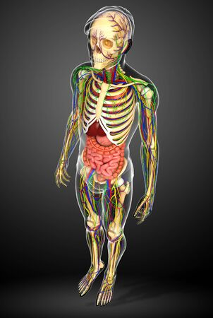 lymph vessels: Illustration of human body lymphatic, skeletal and digestive system artwork