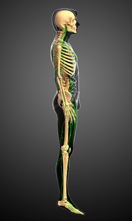 lymph: Illustration of Male skeleton with lymphatic system