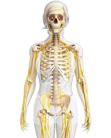 Ilustración Del Esqueleto Femenino Con Sistema Nervioso Fotos ...