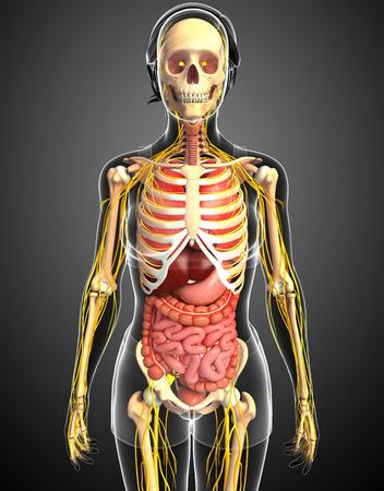digestive: Illustration of Female skeleton with nervous and digestive system artwork Stock Photo