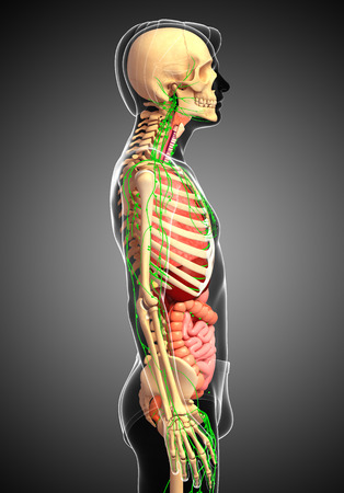 skeletal: Illustration of Male body lymphatic, skeletal and digestive system artwork Stock Photo