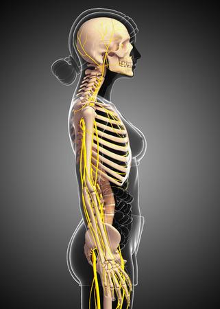 sistema nervioso: Illustration of female skeleton with nervous system Foto de archivo