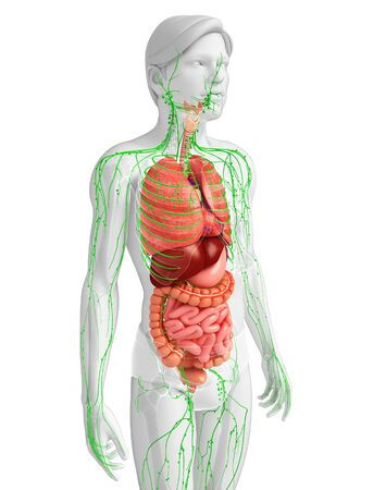 lymph vessels: Illustration of Male body lymphatic and digestive system artwork Stock Photo